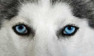dog-eyes