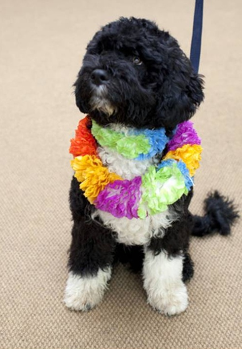 Portuguese Water Dog Puppy. Portuguese Water Dog,