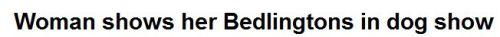 bedlingtons